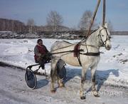 Объявление Орловские рысаки:  жеребцы, кобылы, жеребчики в Алтайском крае