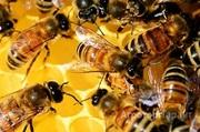Объявление Продаю пчелосемьи на высадку в Алтайском крае