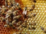 Объявление Пчелопакеты ранние в Алтайском крае