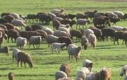 Объявление Продам табун овец  в Алтайском крае