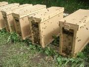 Объявление Пчелопакеты в Алтайском крае