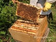 Объявление Пчелопакеты, пчелосемьи в Алтайском крае