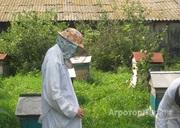 Объявление Пчелосемьи среднерусской породы в Алтайском крае