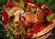 Объявление КУПИМ Сморчок, Лисичка, Белый гриб, Ягоды облепихи, малины и т.д. в Алтайском крае