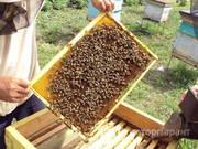 Объявление Продам ПАСЕКУ 25 Пчелосемей в Алтайском крае