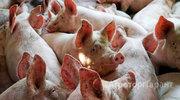 Куплю Куплю свинину живым весом, полутуши в Алтайском крае