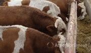 Объявление Мясо говядина (молодняк бычки)  в Алтайском крае