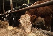 Объявление Экологически чистое мясо бычков  в Алтайском крае