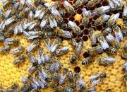 Объявление Продам пчелосемьи  в Алтайском крае