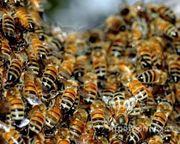Объявление Пчелосемьи на высадку в Алтайском крае