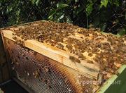 Объявление Пчелопакеты. Пчелосемьи. в Алтайском крае