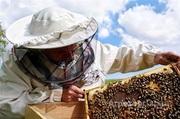 Объявление Пчелы. Таёжный Мёд в Алтайском крае
