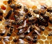 Объявление Пчелы на высадку / с ульями в Алтайском крае