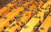 Объявление Продам пчелосемьи и ульи с магазинами в Алтайском крае