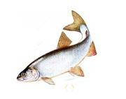 Объявление Купим рыбные отходы от 5 до 100 тонн в месяц в Москве и Московской области