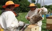 Объявление Ищу компаньона по совместному разведению пчел в Алтайском крае