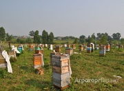 Объявление Продаю пасеку на 40 пчелосемей в Алтайском крае