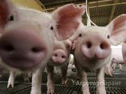 Объявление Действующая свиноферма с поголовьем породы Ландрас в Алтайском крае