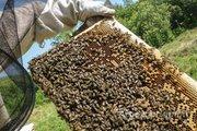 Объявление Продам пасеку 30 пчелосемей и 30  пчелопакетов в Курской области