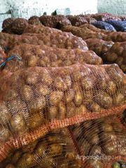 Объявление Картофель от производителя в Кемеровской области