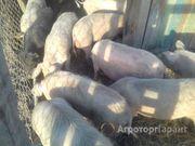 Объявление Продаем свиней в Вологодской области