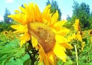 Объявление Семена подсолнечника гибрид Оптимум в Ростовской области