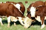 Объявление Куплю коров породы казахская белоголовая в Волгоградской области