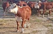 Объявление Продажа КРС молочных пород живым весом оптом, доставка в Москве и Московской области