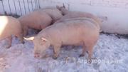 Объявление Продаем свиней живым весом в Республике Татарстан