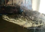 Объявление Продам крокодила в Свердловской области