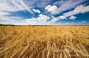 Объявление Куплю пшеницу 3 класс в Алтайском крае