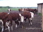 Объявление Продаем племенной скот в Тульской области