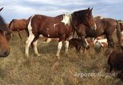 Объявление Продажа лошадей в Алтайском крае