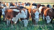 Объявление Быки мясных пород живым весом на убой 140 руб/кг в Волгоградской области