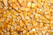 Объявление Кукуруза в Алтайском крае