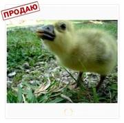 Объявление Продаем гусей и гусят в Брянской области
