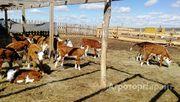 Объявление Поставка скота в живом весе от доращивания до высокоудойного в Республике Татарстан