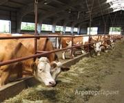 Объявление Коровы дойные симментальской породы в Республике Татарстан
