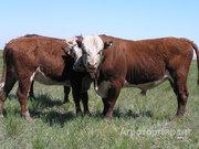 Объявление Продаем быков весом 400-550 кг в Алтайском крае