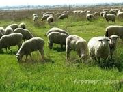 Объявление Продажа овец в Новосибирской области