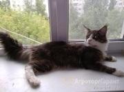 Объявление Продается кот Мейн кун в Москве и Московской области