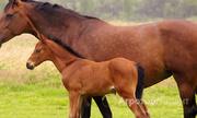 Объявление Лошади и жеребята от производителя 125 руб/кг в Республике Калмыкия