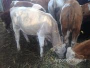 Объявление Куплю бычков  в Ставропольском крае