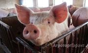 Объявление Куплю СРОЧНО хряков мясом или живок, сан брак. свиноматок в Самарской области