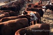 Объявление Бычки Калмыцкой породы на доращивание 160 руб/кг в Республике Калмыкия