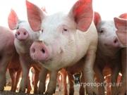 Объявление Куплю живых свиней для убоя от 90-140 кг в Свердловской области