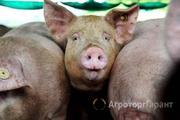Объявление Куплю местных свиней в Чувашской Республике