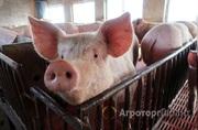 Объявление Продаем свиней живым весом в Белгородской области