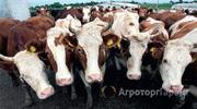 Объявление Покупаем коров, быков на убой в Алтайском крае