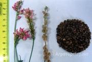 Объявление Семена - эспарцет, козлятник, люцерна в Воронежской области